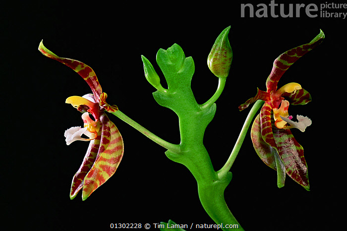 Wild orchid (Phalaenopsis pantherina) in flower from the rainforest of Borneo. Sabah State, Malaysia.  ,  BORNEO ISLAND,COLOURFUL,FLOWERS,MALAYSIA,MONOCOTYLEDONS,ORCHIDACEAE,ORCHIDS,PLANTS,SOUTH EAST ASIA,TROPICAL RAINFOREST  ,  Tim Laman