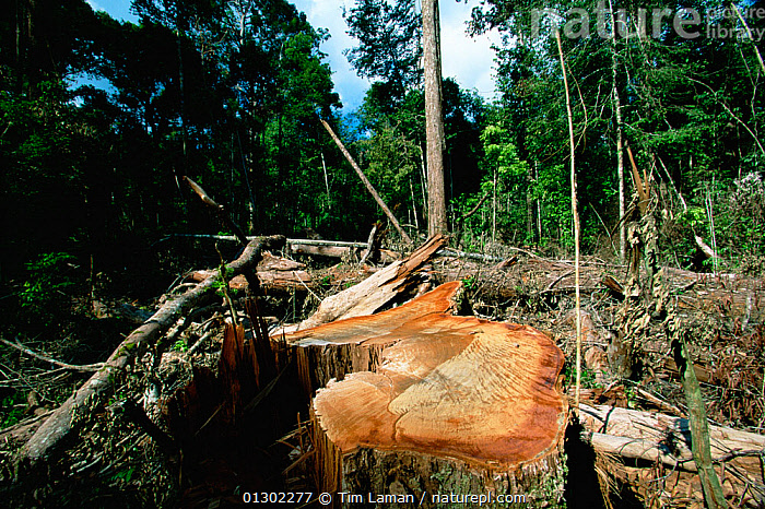 Illegal logging in Gunung Palung National Park, Borneo, Indonesia., ASIA,BORNEO,BORNEO ISLAND,DEFORESTATION,ENVIRONMENTAL,HABITAT,INDONESIA,NP,RESERVE,SOUTH EAST ASIA,TROPICAL RAINFOREST,National Park, Tim Laman