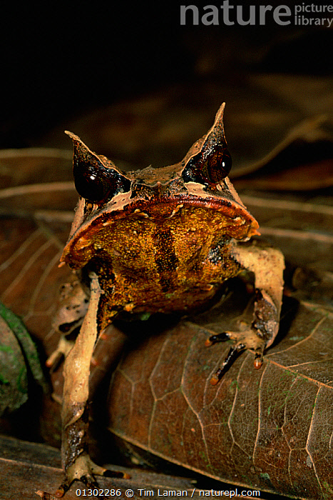 Head portrait of Bornean Horned Frog (Megophrys nasuta) among the leaf litter in the lowland rainforest of Borneo. Danum Valley Conservation Area, Sabah, Malaysia  ,  AMPHIBIANS,animal eyes,animal head,Anura,borneo,BROWN,CAMOUFLAGE,CATALOGUE2,close up,CLOSE UPS,Conservation area,Danum Valley,downturned mouth,EXPRESSIONS,EYES,FROGS,front view,full length,HEADS,HORNED FROGS,leaf litter,LEAVES,looking at camera,Lowland,Malaysia,nature,Nobody,one animal,outdoors,PORTRAITS,quirky,rainforest,RESERVE,SABAH (BORNEO),Sagah,SOUTH EAST ASIA,TROPICAL RAINFOREST,VERTEBRATES,VERTICAL,WILDLIFE  ,  Tim Laman