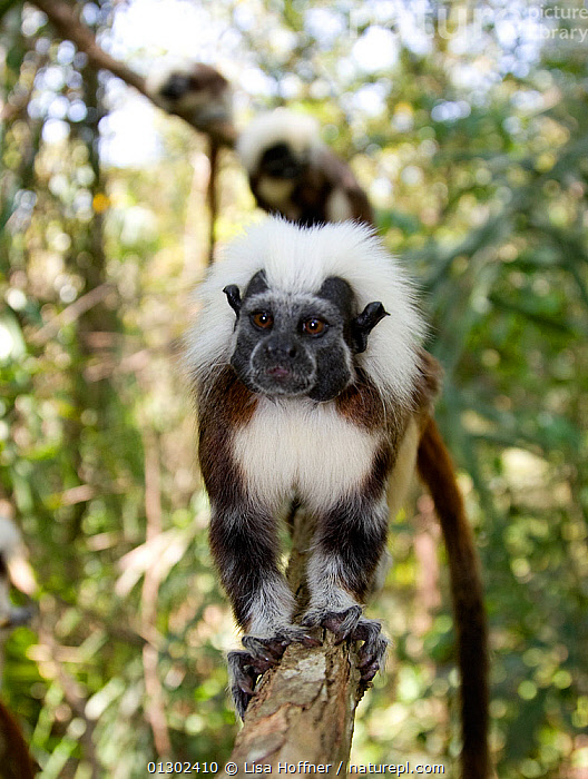 Portrait of wild Cotton-top tamarins (Saguinus oedipus) standing on a branch in dry tropical forest of Colombia, South America IUCN List: Critically Endangered  ,  CRITICALLY ENDANGERED,ENDANGERED,HABITAT,MAMMALS,PRIMATES,PROYECTO TITI,SOUTH AMERICA,TAMARINS,TROPICAL DRY FOREST,VERTEBRATES,Marmosets ,Cottontop tamarin,  ,  Lisa Hoffner