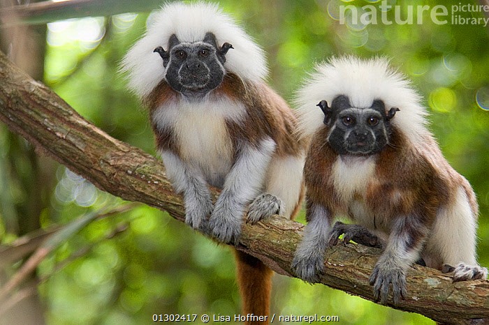Portrait of two wild Cotton-top Tamarins (Saguinus Oedipus) resting on vine in tropical dry forest of Colombia, South America. IUCN List: Critically Endangered  ,  CRITICALLY ENDANGERED,ENDANGERED,HABITAT,MAMMALS,PORTRAITS,PRIMATES,PROYECTO TITI,SOUTH AMERICA,TAMARINS,TROPICAL DRY FOREST,VERTEBRATES,Marmosets ,Cottontop tamarin,  ,  Lisa Hoffner