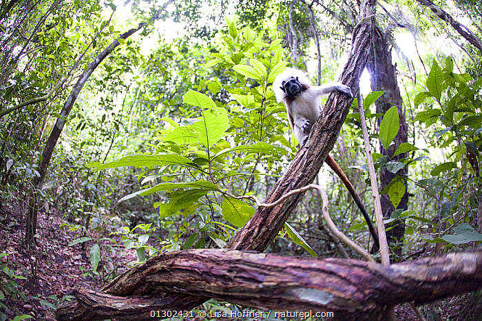 Wild Cotton-top Tamarin (Saguinus Oedipus) on vine, in tropical dry forest of Colombia, South America. IUCN List: Critically Endangered  ,  CRITICALLY ENDANGERED,ENDANGERED,HABITAT,MAMMALS,PRIMATES,PROYECTO TITI,SOUTH AMERICA,TAMARINS,TROPICAL DRY FOREST,VERTEBRATES,Marmosets ,Cottontop tamarin,  ,  Lisa Hoffner