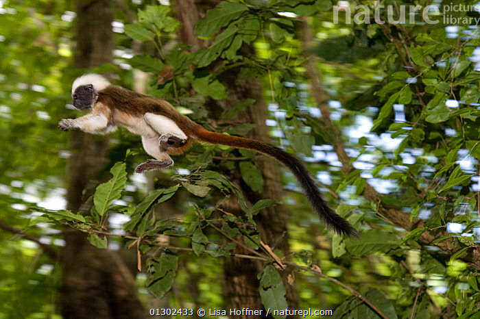 Wild Cotton-top tamarin (Saguinus oedipus) appears to fly through the air as it jumps from branch to branch in the dry tropical forest of Colombia, South America. IUCN List: Critically Endangered  ,  ACTION,CRITICALLY ENDANGERED,ENDANGERED,HABITAT,JUMPING,MAMMALS,MOTION,PRIMATES,PROYECTO TITI,SOUTH AMERICA,TAMARINS,TROPICAL DRY FOREST,VERTEBRATES,Marmosets ,Cottontop tamarin,  ,  Lisa Hoffner