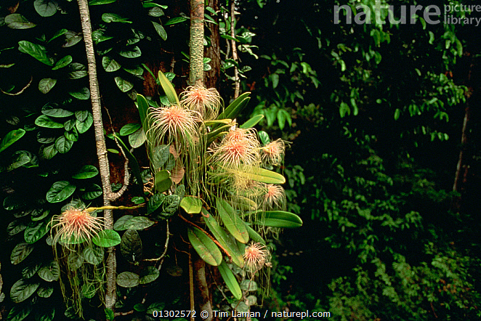 Epiphytic orchid (Bulbophyllum medusae) growing in the canopy of the lowland rainforest, Gunung Palung National Park, Borneo, West Kalimantan, Indonesia  ,  borneo,CATALOGUE2,CLOSE UPS,EPIPHYTES,flowering,FLOWERS,GROWTH,Gunung Palung National Park,INDONESIA,leaf canopy,Lowland,MONOCOTYLEDONS,nature,Nobody,ORCHIDACEAE,orchids,outdoors,PLANTS,rainforst,RESERVE,SOUTH EAST ASIA,TROPICAL RAINFOREST,West Kalimantan,WILDLIFE,Concepts,Asia  ,  Tim Laman