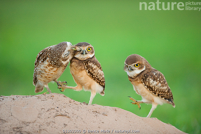 Two newly fledged burrowing owl chicks (Athene cunicularia) one being groomed by its mother (far left) Pantanal, Brazil. WINNER: Eric Hosking Award portfolio image 4/6 - Wildlife Photographer of the Year 2010, affection,animal eye,balancing,BEHAVIOUR,BIRDS,BIRDS OF PREY,Brazil,CATALOGUE2N,chick,CLAWS,EYES,female animal,full length,funny,green background,GROOMING,HUMOROUS,humour,mother animal,nature,Nest,Nobody,outdoors,OWLS,Pantanal,preening,SOUTH AMERICA,STANDING,THREE,three animals,VERTEBRATES,WILDLIFE,young animal,Concepts,Raptor, Bence Mate