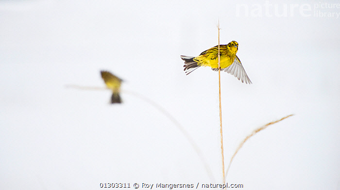 Yellowhammer (Emberiza citrinella) balancing on rye stem, Norway. HIGHLY COMMENDED: Animal Portraits - Wildlife Photographer of the Year 2010  ,  Balance,balancing,BIRDS,BUNTINGS,CATALOGUE2,CUTE,CUTOUT,Flapping,focus on foregeound,focus on foreground,Grass,nature,Nobody,NORWAY,outdoors,Perching,plant stem,Rye,Scandanavia,selective focus,SNOW,stem,two animals,VERTEBRATES,WILDLIFE,WINGS,WINTER,YELLOW,Plants,Europe,Scandinavia  ,  Roy Mangersnes