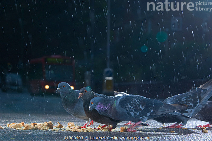 Flock of Feral pigeons (Columba livia) feeding on bread in an urban street, in the rain, London, England, UK, October 2008., BIRDS,CITIES,COLUMBIFORMES,DOVES,DUSK,FEEDING,FLOCKS,RAIN,RAINING,URBAN,VERTEBRATES,WEATHER,Europe,United Kingdom, Laurent Geslin