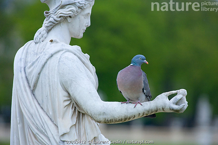 Wood pigeon (Columba palumbus) perched on the arm of a classical stone statue, urban park, Paris, France, April., ART,BIRDS,CITIES,COLUMBIFORMES,DOVES,EUROPE,FRANCE,PARKS,SCULPTURE,URBAN,VERTEBRATES,WILDLIFE,WOODPIGEON,BOOK,URBAN,Pigeons, Laurent Geslin