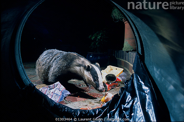 Urban Badger (Meles meles) scavenging litter from overturned dustbin at night, London, England, UK  ,  animal marking,BADGERS,book,CARNIVORES,CATALOGUE2F,circular,CITIES,dustbin,ENGLAND,FEEDING,FORAGING,full length,litter,london,MAMMALS,MUSTELIDS,nature,NIGHT,Nobody,one animal,outdoors,overturned,REFUSE,rubbish bin,SCAVENGING,UK,URBAN,VERTEBRATES,WILDLIFE,Europe,United Kingdom  ,  Laurent Geslin