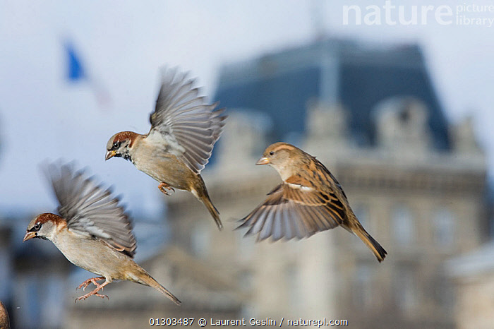 Common sparrows (Passer domesticus) two males and a female flying, Paris. France, November., BIRDS,BUILDINGS,CITIES,EUROPE,FEMALES,FLYING,FRANCE,HOUSE SPARROW,MALES,PARKS,SPARROWS,URBAN,VERTEBRATES, Laurent Geslin