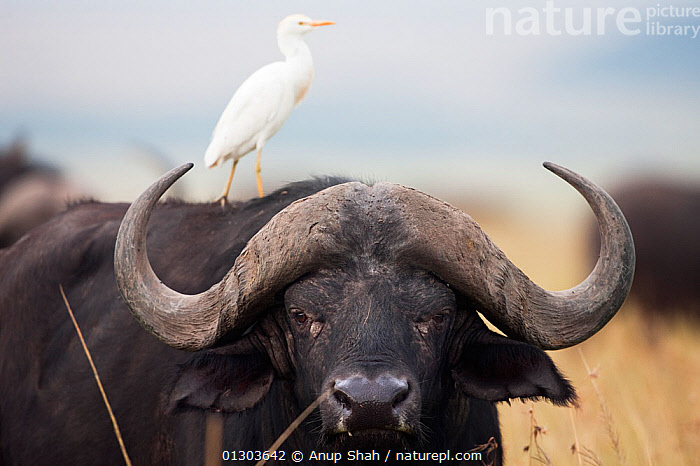 Cape buffalo (Syncerus caffer) head portrait of male, with Cattle egret on its back (Bubulcus ibis). Masai Mara National Reserve, Kenya. February., AFRICA,animal head,ARTIODACTYLA,back,BOVIDS,Bubulcus ibis,BUFFALOS,carrying on back,CATALOGUE2,CATTLE EGRET,close up,CLOSE UPS,EAST AFRICA,front view,HEADS,Horned,Kenya,looking at camera,male animal,MAMMALS,Masai Mara National reserve,MIXED SPECIES,nature,Nobody,on top of,outdoors,Perching,PORTRAITS,RESERVE,STANDING,SYMBIOSIS,two animals,ugly,VERTEBRATES,WILDLIFE,Concepts,Partnership,Cattle, Anup Shah