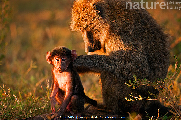Olive baboon (Papio cynocephalus anubis) grooming a male baby aged 3-6 months  Masai Mara National Reserve, Kenya. March., affection,AFFECTIONATE,AFRICA,animal family,BABIES,BABOONS,care,CATALOGUE2,close up,CLOSE UPS,EAST AFRICA,GROOMING,Kenya,male animal,MALES,MAMMALS,Masai Mara NationalReserve,Masia Mara,MONKEYS,MOTHER BABY,nature,Nobody,outdoors,PRIMATES,RESERVE,side view,SITTING,SOCIAL BEHAVIOUR,sunlight,two animals,VERTEBRATES,WILDLIFE,young animal, Anup Shah