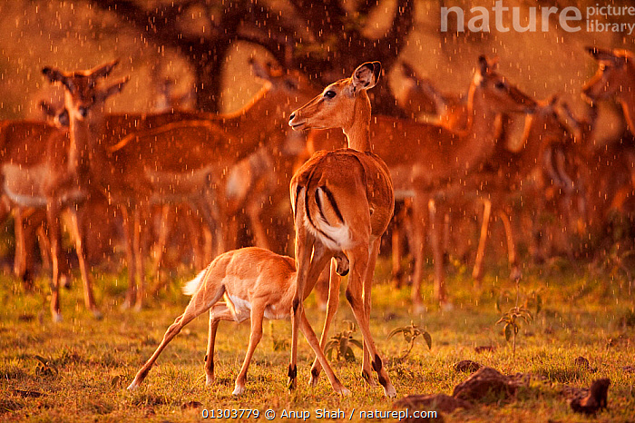 Impala herd (Aepyceros melampus) and female with suckling fawn in late afternoon rain, Masai Mara National Reserve, Kenya. March., AFRICA,afternoon,ARTIODACTYLA,BABIES,BOVIDS,CATALOGUE2,EAST AFRICA,fawn,FEEDING,female animal,group of animals,GROUPS,herd of animals,IMPALAS,Kenya,large group of animals,MAMMALS,many,Masai Mara,Masai Mara National reserve,mother animal,MOTHER BABY,RAIN,RAINING,rear view,RESERVE,STANDING,SUCKLING,Togetherness,VERTEBRATES,WEATHER,wildlife reserve,young animal,Antelopes, Anup Shah