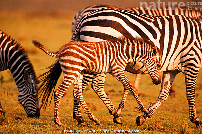 Common / Plains zebra (Equus quagga burchellii) foal walking alongside its mother, Masai Mara National Reserve, Kenya. March., BABIES,BURCHELL'S ZEBRA,EAST AFRICA,MAMMALS,MOTHER BABY,PERISSODACTYLA,RESERVE,VERTEBRATES,ZEBRAS,Equines, Anup Shah