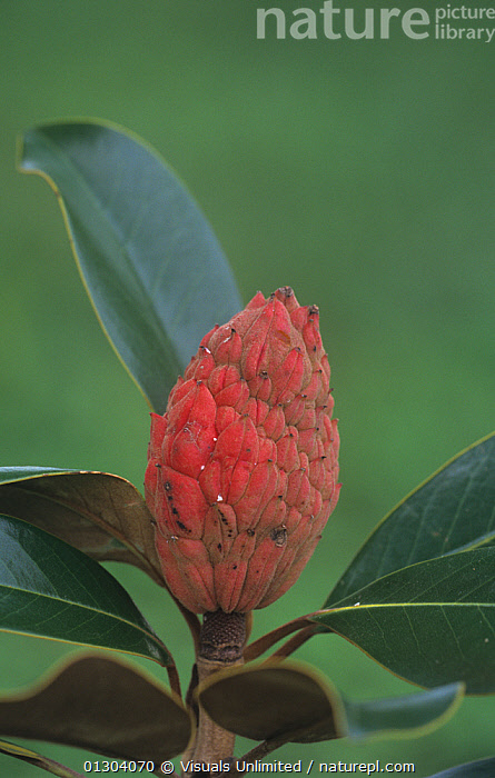 Nature Picture Library Seed Pod Of Southern Magnolia Tree