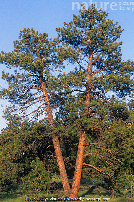 Ponderosa Pines (Pinus ponderosa) Western North America.  ,  AMERICA,BEAUTY,BOTANY,CLOSE UP,CONIFER,CONIFEROUS,CONIFERS,DOUG,EVERGREEN,EVERGREENS,FOREST,FORESTS,GROWTH,NATURAL,NORTH,OUTDOORS,PATTERN,PATTERNS,PINE,PINES,PINUS,PLANTS,PONDEROSA,SHAPES,SMALL,SOKELL,TREE,TRUNK,TRUNKS,V,VERTICAL,WESTERN,Concepts  ,  Visuals Unlimited