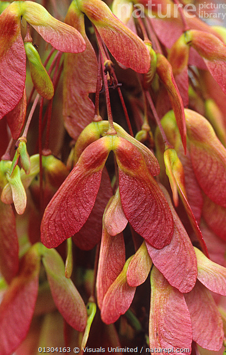 Nature Picture Library Red Maple Tree Acer Rubrum Winged Seeds