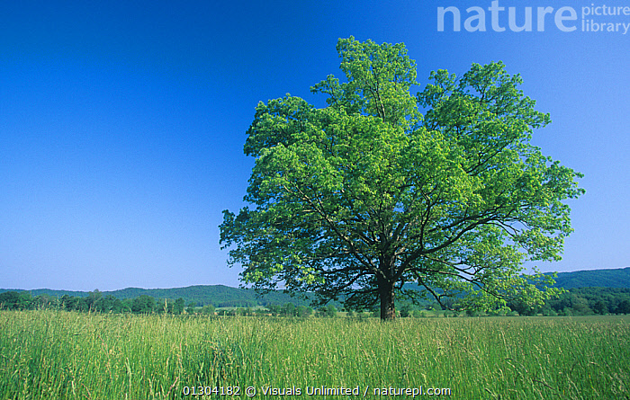 Burr Oak (Quercus macrocarpa), Eastern North America.  ,  AMERICA,AWE,BEAUTY,BLUE,BOTANY,BUR,BURR,DECIDUOUS,DESTINATION,EASTERN,ENVIRONMENT,FOSTER,FRAME,FRESHNESS,GROWTH,IDYLLIC,ISOLATED,KENT,LANDSCAPE,MACROCARPA,NATURAL,NORTH,OAK,OAKS,ONE,OUTDOORS,PEACEFUL,PURE,QUERCUS,REFLECTION,RELAXATION,SCENIC,SHAPE,SHAPES,SINGLE,SKY,TRANQUIL,TRAVEL,TREE,TREES,VACATION,Concepts,PLANTS  ,  Visuals Unlimited