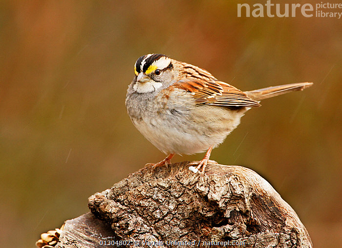 White-throated sparrow (Zonotrichia albicollis) with its feathers fluffed, piloerection, for protection against the sleeting weather, North America.  ,  79756816,ALBICOLLIS,ANIMAL,BIRDS,COLD,CORNELL,FEATHER,FEATHERS,FLUFFED,HORIZONTAL,INSULATION,JOHN,ONE,ORNITHOLOGY,OUTDOORS,PILOERECTION,PROTECTION,REGULATION,SPARROW,SPARROWS,TEMPERATURE,THROATED,WHITE,WHITE THROATED,ZONOTRICHIA  ,  Visuals Unlimited