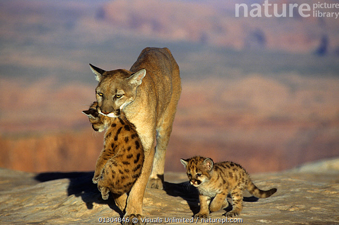 Mountain lion / Cougar / Puma (Felis concolor) female carrying a cub in its mouth and being followed by another cub, Western North America. Captive., AMERICA,ANIMAL,ANIMALS,BABY,BEGINNINGS,BEHAVIOR,BIG,BOND,CARE,CAT,CATS,CLOSE UP,CONCOLOR,COUGAR,CUB,CUBS,CUTE,FACE,FELIS,FRAME,GROWTH,HORIZONTAL,INNOCENCE,LARGE,LIFE,LION,MAMMALS,MOUNTAIN,NATURAL,NEW,NORTH,OUTDOORS,PARENTAL,POTENTIAL,PROTECTION,PUMA,REPRODUCTION,SAFETY,SECURITY,SMALL,SURVIVAL,THEMES,THREE,VULNERABLE,WESTERN,WILDLIFE,YOUNG,Concepts, Visuals Unlimited