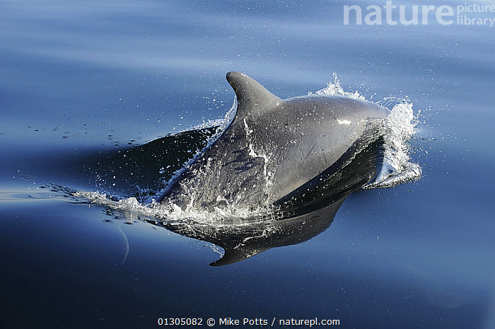 Bottlenose dolphin (Tursiops truncatus) surfacing, off the Lleyn Peninsula, North Wales, UK. May 2010, ATLANTIC,CETACEANS,COASTAL WATERS,DOLPHINS,EUROPE,MAMMALS,MARINE,SURFACE,TEMPERATE,UK,VERTEBRATES,WALES,United Kingdom,core collection xtwox, Mike Potts