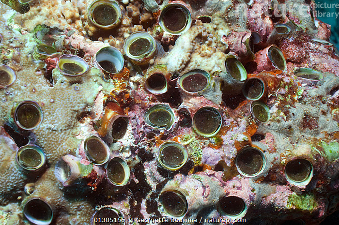 Nature Picture Library Vermetid worm / Worm snail (Dendropoma maxima).  Vermetid gastropods are unusual snails in that they secrete the calcareous  tube in which they live. This one has a operculum. They