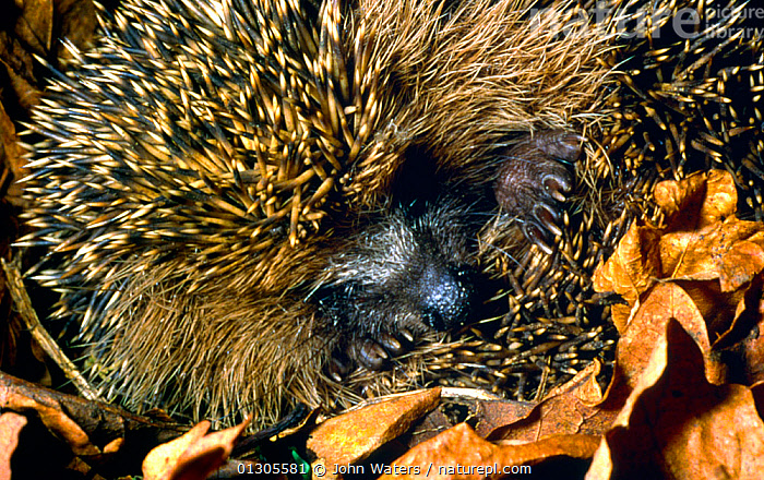 Hibernating Hedgehog (Erinaceus europaeus)  curled up into ball, with paws and snout visible, UK  ,  HEDGEHOGS,HIBERNATION,INSECTIVORES,LEAVES,MAMMALS,PAWS,PORTRAITS,UK,VERTEBRATES,WINTER,Europe,United Kingdom  ,  John Waters