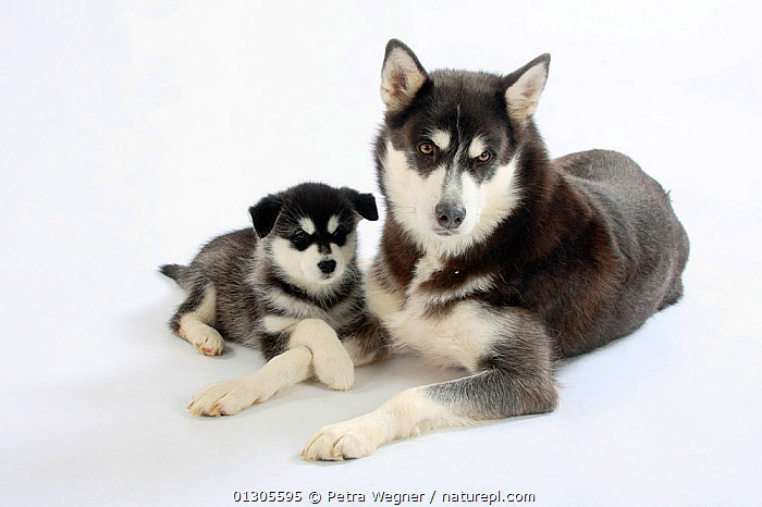 Alaskan Malamutes, bitch lying down with puppy, aged 8 weeks.  ,  BABIES,CUTE,CUTOUT,DOGS,FEMALES,JUVENILE,LARGE DOGS,MOTHER BABY,PETS,PUPPIES,STUDIO,VERTEBRATES,WORKING DOGS,Canids  ,  Petra Wegner