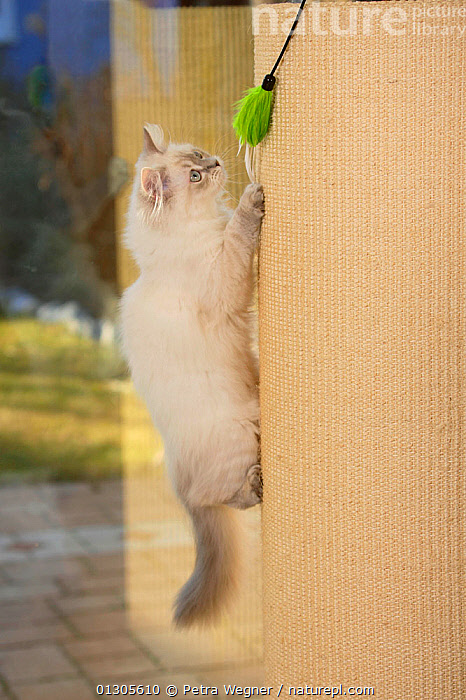 British Longhair Cat, aged 5 months, climbing, and playing with toy. Blue-silver-tabby-point. (Highlander, Lowlander, Britanica)  ,  CATS,CLIMBING,PETS,PLAYING,VERTEBRATES,VERTICAL  ,  Petra Wegner