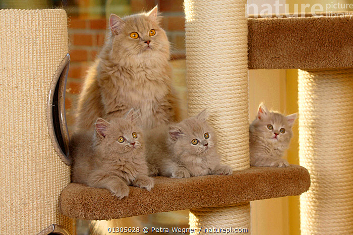 British Longhair Cat, lilac-tabby-mackerel coated, and kittens, aged 9 weeks (Highlander, Lowlander, Britanica)  ,  BABIES,CATS,CUTE,FAMILIES,INDOORS,JUVENILE,MOTHER BABY,PETS,VERTEBRATES  ,  Petra Wegner