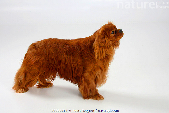 Cavalier King Charles Spaniel, ruby coated male, standing in show-stack posture.  ,  CUTOUT,DOGS,MALES,PETS,SMALL DOGS	,STUDIO,TOY DOGS	,VERTEBRATES,Canids  ,  Petra Wegner