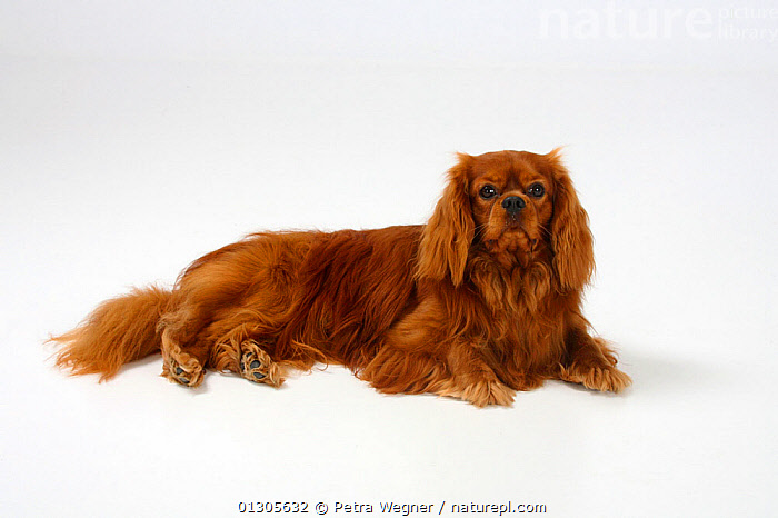 Cavalier King Charles Spaniel, ruby coated male, lying down.  ,  CUTOUT,DOGS,MALES	,PETS,SMALL DOGS	,STUDIO,TOY DOGS	,VERTEBRATES,Canids  ,  Petra Wegner