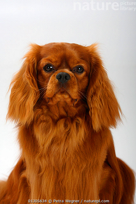 Cavalier King Charles Spaniel, head portrait of ruby coated male, sitting down.  ,  CLOSE UPS,CUTOUT,DOGS,MALES	,PETS,PORTRAITS,SITTING,SMALL DOGS	,STUDIO,TOY DOGS	,VERTEBRATES,VERTICAL,Canids  ,  Petra Wegner