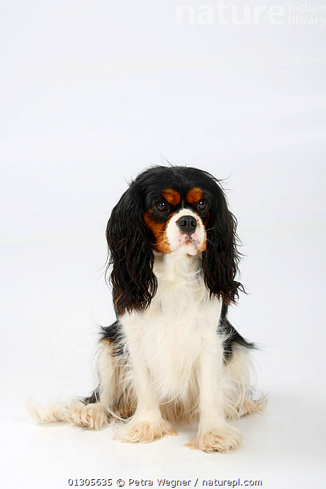 Cavalier King Charles Spaniel, tricoloured bitch sitting down.  ,  CUTOUT,DOGS,FEMALES,PETS,PORTRAITS,SITTING,SMALL DOGS,STUDIO,TOY DOGS,VERTEBRATES,VERTICAL,Canids  ,  Petra Wegner
