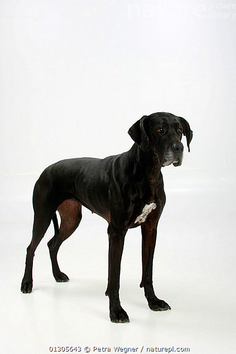 Great Dane, black coated bitch, standing in show-stack posture.  ,  CUTOUT,DOGS,EXTRA LARGE DOGS,FEMALES,PETS,STUDIO,VERTEBRATES,VERTICAL,WORKING DOGS,Canids  ,  Petra Wegner