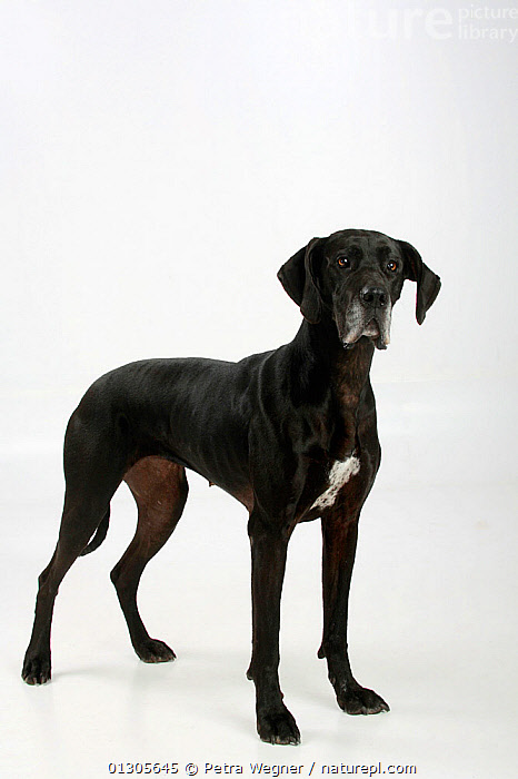Great Dane, black coated bitch, standing in show-stack posture.  ,  CUTOUT,DOGS,EXTRA LARGE DOGS	,FEMALES	,PETS,STUDIO,VERTEBRATES,VERTICAL,WORKING DOGS,Canids  ,  Petra Wegner