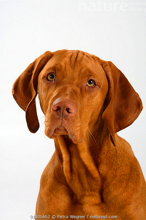 Magyar Vizsla / Hungarian Pointer, head portrait of a smooth coated, tan coloured male, sitting.  ,  LARGE DOGS,CLOSE UPS,CUTOUT,DOGS,GUN DOGS,MALES,PETS,PORTRAITS,SMOOTH HAIRED,STUDIO,VERTEBRATES,VERTICAL,Canids  ,  Petra Wegner