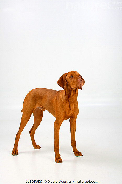Magyar Vizsla / Hungarian Pointer, smooth coated, tan coloured male, standing in show-stack posture.  ,  LARGE DOGS,CUTOUT,DOGS,GUN DOGS,MALES,PETS,SMOOTH HAIRED	,STANDING,STUDIO,VERTEBRATES,VERTICAL,Canids  ,  Petra Wegner