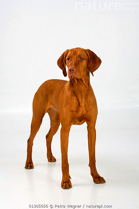 Magyar Vizsla / Hungarian Pointer, smooth coated, tan coloured male, standing in show-stack posture.  ,  LARGE DOGS,CUTOUT,DOGS,GUN DOGS,MALES,PETS,SMOOTH HAIRED,STANDING,STUDIO,VERTEBRATES,VERTICAL,Canids  ,  Petra Wegner