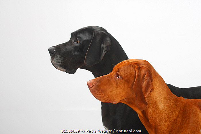 Great Dane, black coated bitch, and Magyar Vizsla /Hungarian Pointer, tan coated male, double portrait in profile together.  ,  Large Dogs,bitch,BLACK,black colour,BROWN,CATALOGUE2,contrasts,copyspace,CUTOUT,DOGS,domestic animal,female animal,FEMALES,Great Dane,gun dogs,HEADS,Hungarian Pointer,INDOORS,Magyar Vizsla,majestic,male animal,MALES,mixed breeds,mixed species,MIXED SPECIES,PETS,PORTRAITS,pride,PROFILE,side view,smooth haired,Studio,studio shot,tan colour,two,two animals,VERTEBRATES,white background,Canids  ,  Petra Wegner