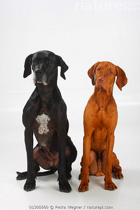 Great Dane, black coated bitch, and Magyar Vizsla /Hungarian Pointer, tan coated male, sitting side by side.  ,  LARGE DOGS,CUTOUT,DOGS,FEMALES,GUN DOGS,MALES,MIXED BREEDS,PETS,PORTRAITS,SITTING,SMOOTH HAIRED,STUDIO,TWO,VERTEBRATES,VERTICAL,Canids  ,  Petra Wegner