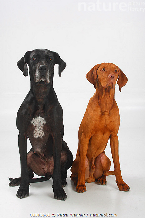Great Dane, black coated bitch, and Magyar Vizsla /Hungarian Pointer, tan coated male, sitting side by side.  ,  LARGE DOGS,CUTOUT,DOGS,FEMALES,GUN DOGS,MALES,PETS,PORTRAITS,SITTING,SMOOTH HAIRED,STUDIO,VERTEBRATES,VERTICAL,Canids  ,  Petra Wegner