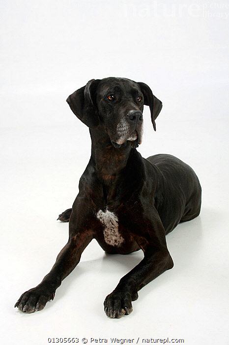 Great Dane, black coated bitch, lying down.  ,  LARGE DOGS,CUTOUT,DOGS,FEMALES,GUN DOGS,PETS,SMOOTH HAIRED,STUDIO,VERTEBRATES,VERTICAL,Canids  ,  Petra Wegner