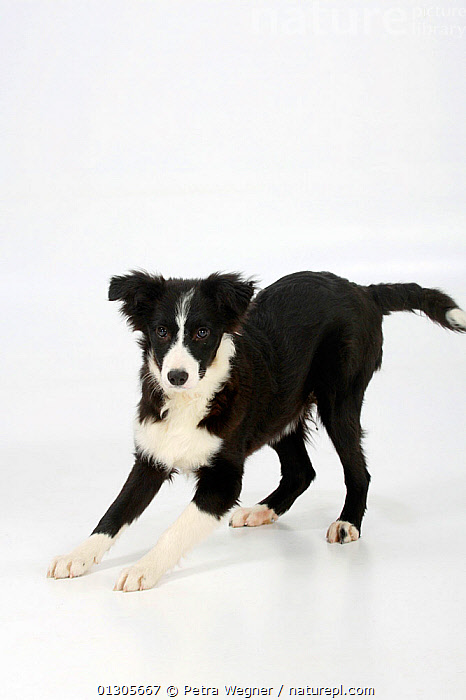 Border Collie puppy, black and white, traditonal markings. aged 4 months.  ,  BABIES,CUTE,CUTOUT,DOGS,JUVENILE,MEDIUM DOGS,PASTORAL DOGS,PETS,STUDIO,VERTEBRATES,VERTICAL,Canids  ,  Petra Wegner