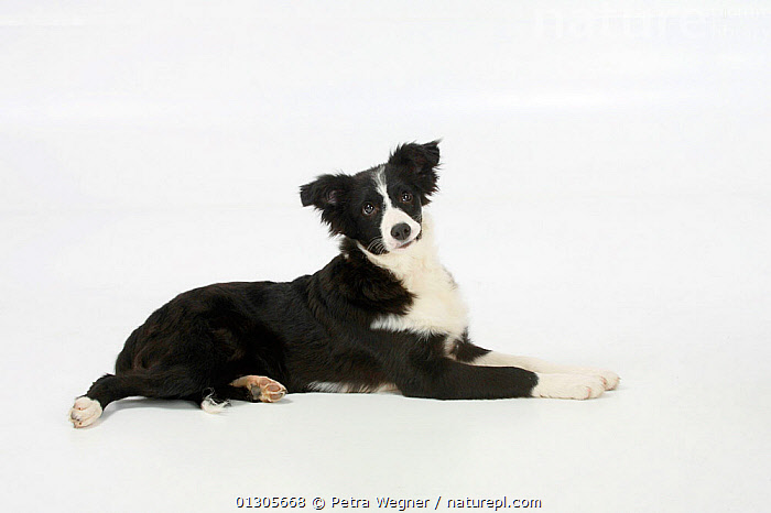 Border Collie puppy, black and white, traditonal markings. aged 4 months, lying down.  ,  BABIES,CUTOUT,DOGS,JUVENILE,MEDIUM DOGS,PASTORAL DOGS,PETS,STUDIO,VERTEBRATES,Canids  ,  Petra Wegner