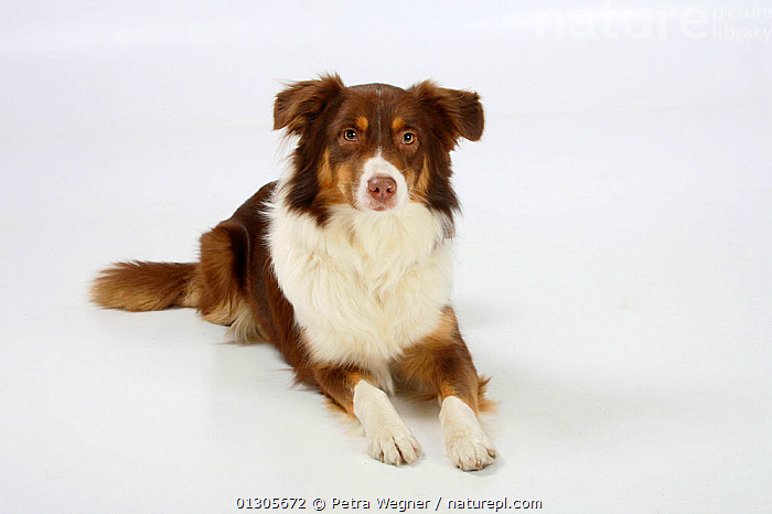 Australian Shepherd dog, red-tri coated, lying down.  ,  CUTOUT,DOGS,MEDIUM DOGS,PASTORAL DOGS,PETS,STUDIO,VERTEBRATES,Canids  ,  Petra Wegner