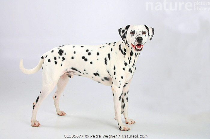 Dalmatian, male aged 4 years, standing in show-stack posture.  ,  CUTOUT,DOGS,LARGE DOGS,MALES,PETS,STUDIO,UTILITY DOGS,VERTEBRATES,Canids  ,  Petra Wegner