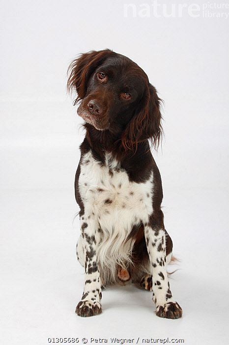 Small Munsterlander, sitting, with head cocked to one side.  ,  CUTOUT,DOGS,GUNDOGS	,MEDIUM DOGS,PETS,PORTRAITS,SITTING,STUDIO,VERTEBRATES,VERTICAL,Canids  ,  Petra Wegner
