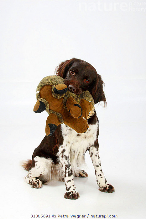 Small Munsterlander with toy in mouth, sitting.  ,  CUTOUT,DOGS,GUN DOG,MEDIUM DOG,PETS,PLAY,PLAYING,SITTING,STUDIO,VERTEBRATES,Communication,Canids  ,  Petra Wegner
