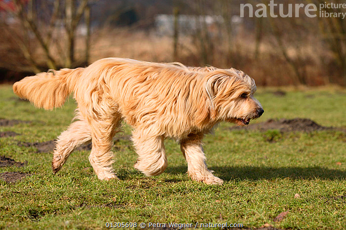 Mixed Breed dog, walking in countryside.  ,  COUNTRYSIDE,DOGS,MONGREL,MUTT,OUTDOORS,PETS,VERTEBRATES,WALKING,Canids  ,  Petra Wegner